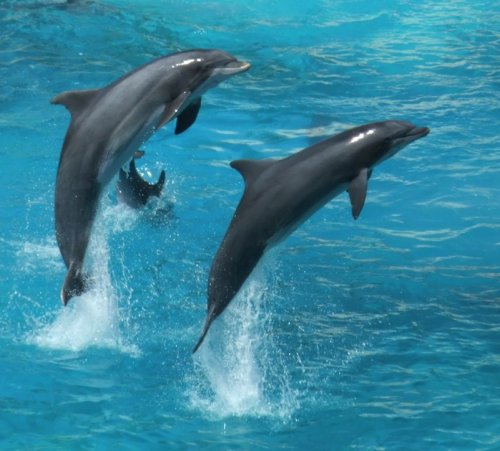 New Film Features Japanese Dolphin Slaughter