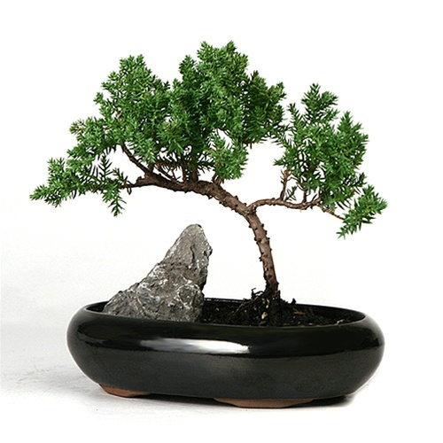 5 Easy Steps in Creating a Bonsai Plant
