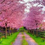 The Cherry Blossom Phenomenon
