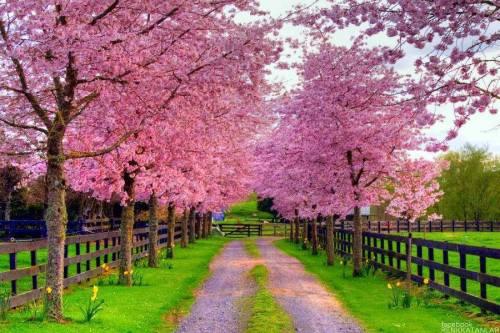 The Cherry Blossom Phenomenon